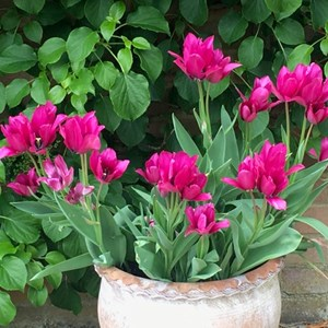 Hazel Gray: These tulips have 3 - 4 heads to each stem.
