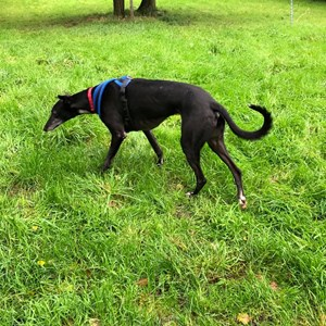 Greyhound Trust Shropshire & Borders Duke