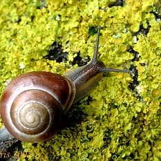 Snail on lichen