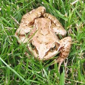 This is Lucky the frog; one of the first visitors to our newly laid lawn. So named because he managed to out jump the lawn mower.