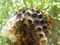 Wasps in a small nest