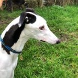 Greyhound Trust Shropshire & Borders Casper