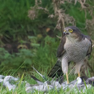 Sparrow Hawk devouring a wood pigeon!