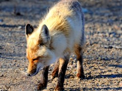 Fox walking