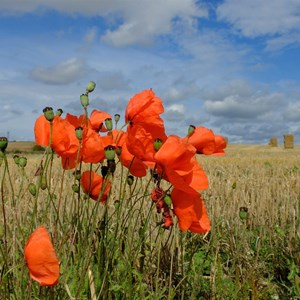 Poppies at Harvest Time - Claire Whatley