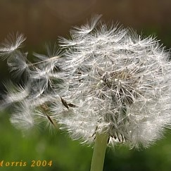 April dandelion seeds