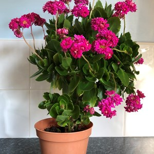 Shirley: Kalanchoe - I can't remember how many years I've had this, but it keeps growing and flowering.