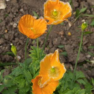 Poppy maybe?