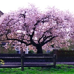 Blossom in Hothfield